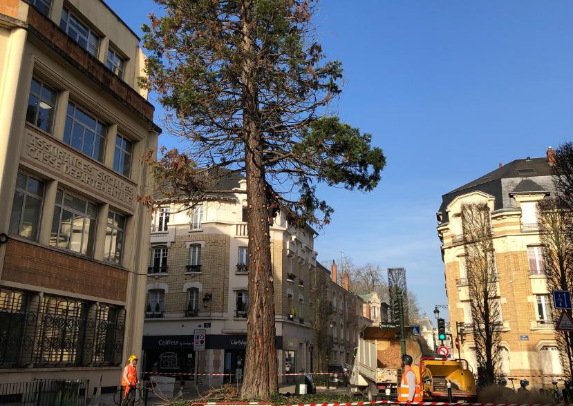L'abattage branche par branche du Séquoia de la place Halmagrand à Orléans